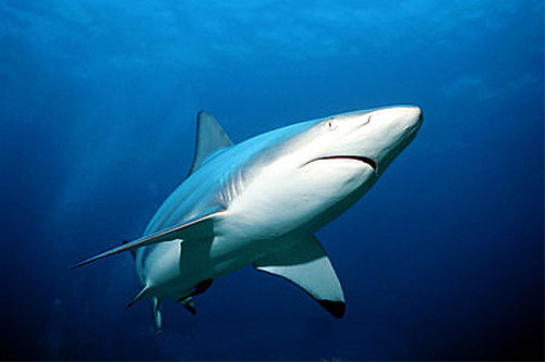 Large sharks including the blacktip shark (Carcharhinus limbatus) are potential predators of the grey smooth-hound. Photo © Doug Perrine