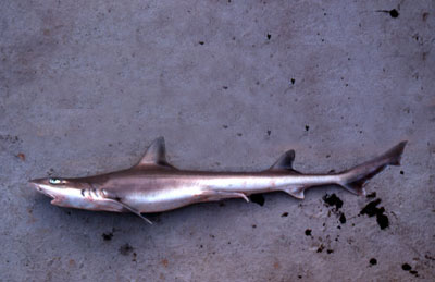 Smooth dogfish with gray coloration along the body and a white underside. Photo © George Burgess