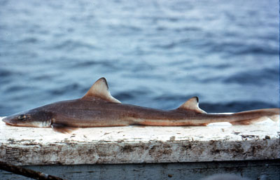 Smooth dogfish showing juvenile coloration. Photo © George Burgess