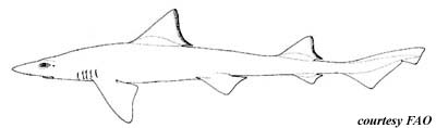 Brown Smooth-hound. Illustration courtesy FAO