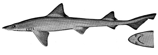 Brown smooth-hound. Illustration courtesy Field Guide to Eastern Pacific and Hawaiian Sharks, U.S. Fish and Wildlife Service 1967