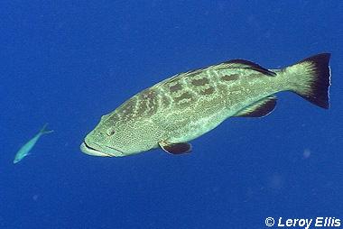 Black Grouper. Photo © Leroy Ellis