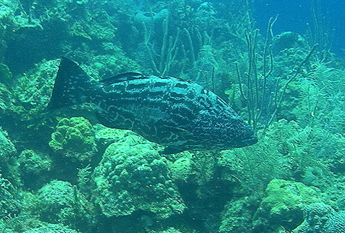 Commercial and recreational fisheries commonly land black grouper. Photo © Leroy Ellis