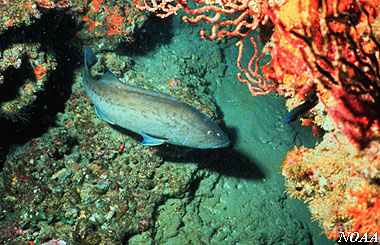 Gag Grouper. Photo courtesy NOAA