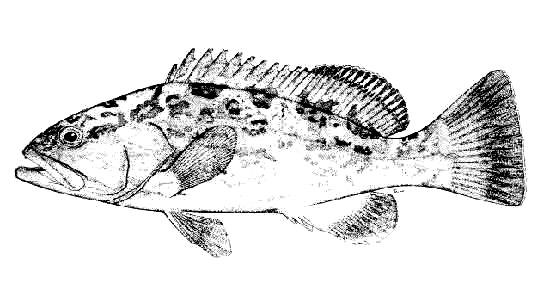 Gag grouper. Illustration courtesy FAO