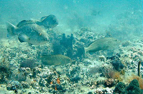 Gag grouper over a rocky reef bottom. Photo courtesy U.S. Geological Survey