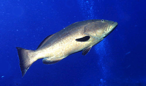 Gag grouper are often confused with the black grouper (M. bonaci) above. Photo © George Ryschkewitsch