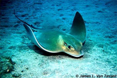 Common eagle ray. Image © James L. van Tassell