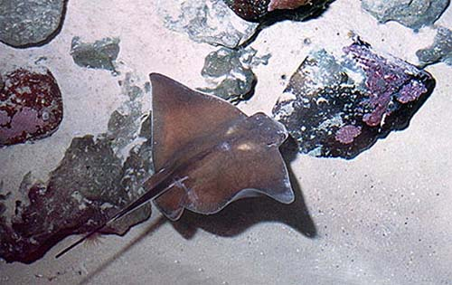 Common eagle ray searching for prey items in the soft sand. Image © Doug Perrine