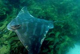 The maximum disc width of the Australian bull ray is just under 4 feet. Image © Doug Perrine
