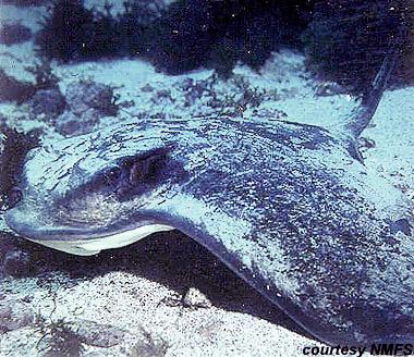 Bat ray. Photo courtesy National Marine Fisheries Service