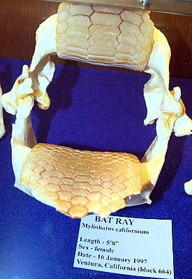 Bat ray jaw. Photo © Cathleen Bester