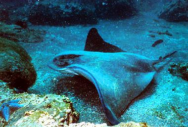 Bat ray. Photo courtesy NOAA