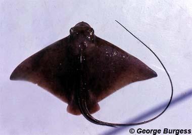 Bullnose Ray. Image © George Burgess