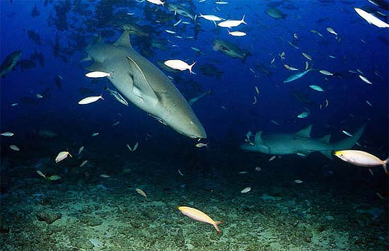 Tawny nurse shark. Photo © Klaus Jost