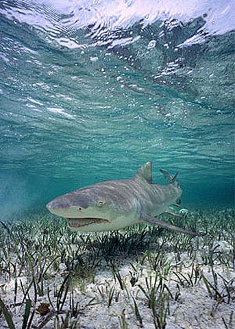 Lemon sharks are close relatives of the sicklefin lemon shark. Photo © Doug Perrine