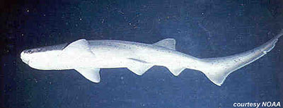 Sevengill Shark. Photo courtesy NOAA
