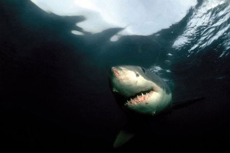 White sharks are known predators of the sevengill shark. Photo © Klaus Jost