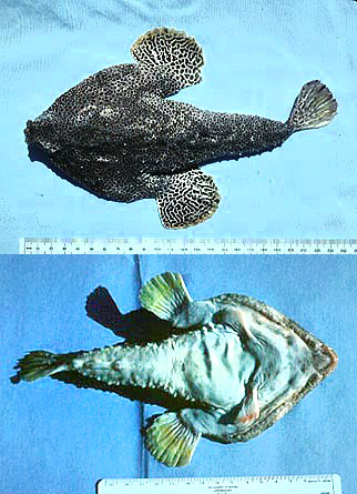 Top view and bottom view of the Polka-dot Batfish. Images © George Burgess