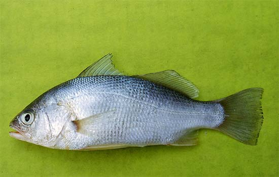 Leatherjackets feed on small fish including the silver perch. Photo © George Burgess
