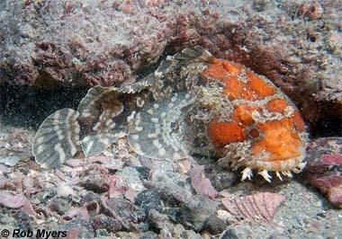 Gulf Toadfish. Photo © Rob Myers