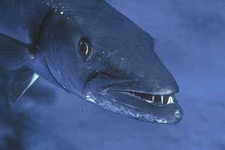 Barracuda are known predators of the gulf toadfish. Photo courtesy NOAA
