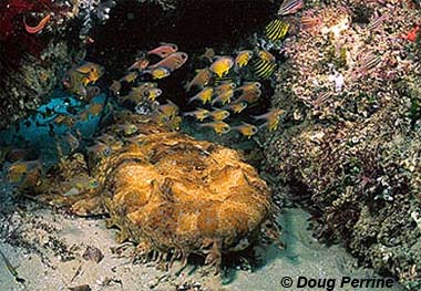Ornate wobbegong. Image © Doug Perrine