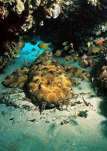Ornate wobbegongs are typically golden-brown in color with dark saddles. Image © Doug Perrine