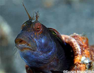 Seaweed blenny, Image © Suzan Meldonian