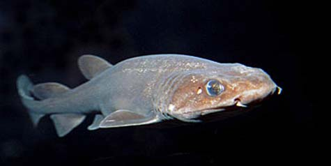 Filetail catsharks are often caught as incidental bycatch in various fisheries. Photo © Doug Perrine