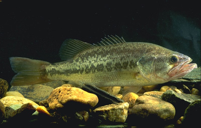 Largemouth bass are among numerous predators that feed on sailfin mollies. Image © U.S.Department of Agriculture.