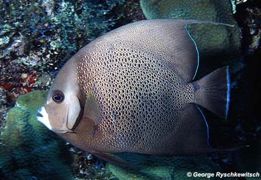 Gray angelfish. Image © George Ryschketwitsch