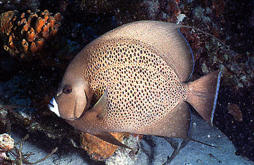 Adult gray angelfish coloration. Image © George Ryschketwitsch
