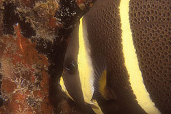Gray angelfish juvenile coloration. Image © Keri Wilk