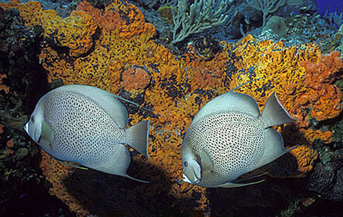 Gray angelfish feed primarily on sponges. Image © Doug Perrine