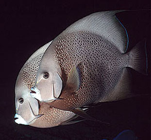 As popular subjects for underwater photographers, the gray angelfish closely approaches divers. Image © Doug Perrine