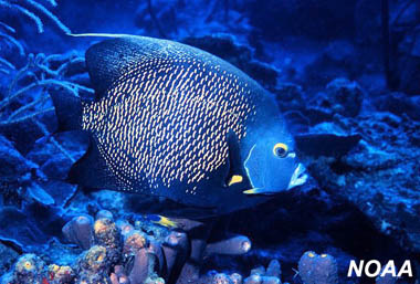 French Angelfish. Image courtesy NOAA