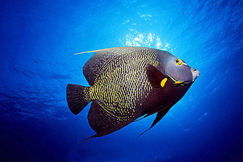 French angelfish. Image © Doug Perrine