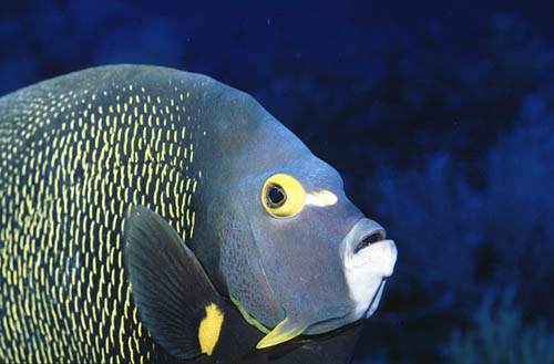 Adult French angelfish. Image © Vasco Pinhol