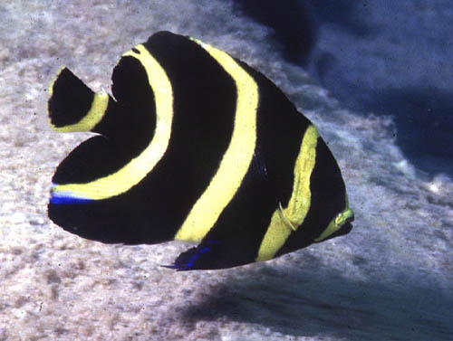 Coloration of the juvenile French angelfish. Image © George Ryschkewitsch