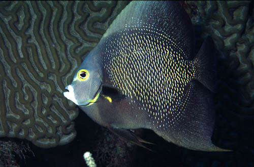 French angelfish searching for food. Image courtesy NOAA