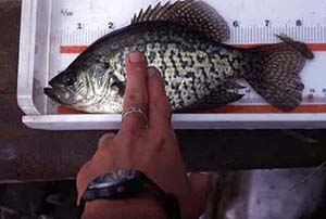 Black crappies grow to a maximum total length of 19.3 inches. Photo courtesy U.S. Geological Survey