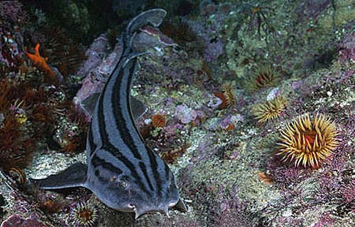Striped catsharks are grayish in color with dark longitudinal stripes and a pale underside. Photo © Doug Perrine