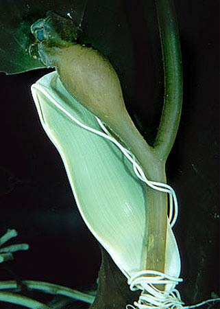 Egg case of the striped catsharks attached to marine vegetation. Photo © Doug Perrine