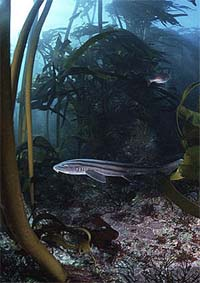 Striped catsharks are often caught as bycatch by bottom trawlers. Photo © Doug Perrine