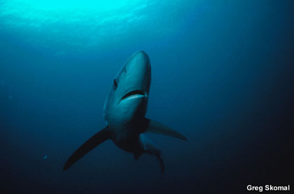 Blue shark. Photo courtesy NOAA