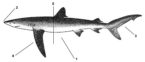 Blue shark (Prionace glauca). Illustration courtesy FAO, Species Identification and Biodata