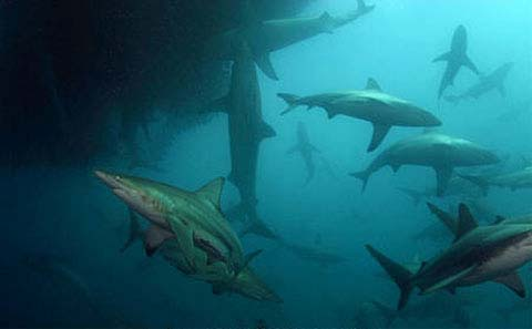 Copper sharks are among the likely predators of the dwarf sawfish. Image © Doug Perrine