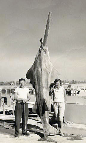 Largest officially captured smalltooth sawfish in Florida waters! Image courtesy W. Bloyd