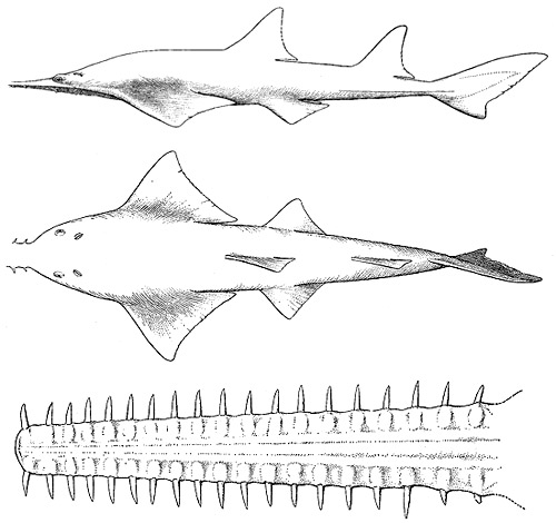 Largetooth sawfish side view without the rostral saw (top), dorsal view (center), and rostral saw (bottom). Images courtesy Bigelow and Schroeder (1948) FNWA